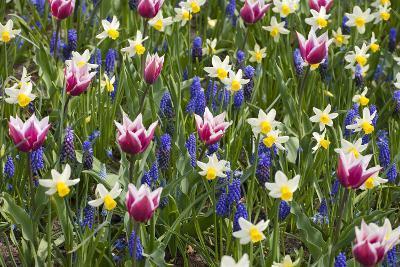 Mixed Tulips and Grape Hyacinth-Mark Bolton-Photographic Print