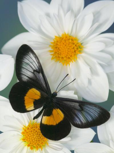 Miyana Meyeri Butterfly on Flowers-Darrell Gulin-Photographic Print