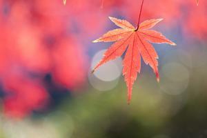 Japanese Maple Tree in Autumn by mizuki/a.collectionRF