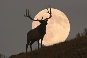 Majestic Bull Elk and Full Moon Rise (Composite) by Mmphotos