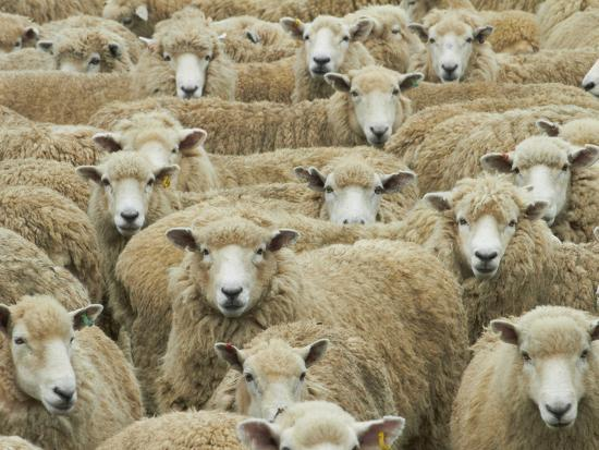 Mob of Sheep, Catlins, South Otago, South Island, New Zealand-David Wall-Photographic Print