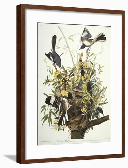Mocking Bird. Northern Mockingbird (Mimus Polyglottos), Plate Xxi, from 'The Birds of America'-John James Audubon-Framed Premium Giclee Print