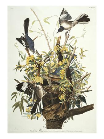 https://imgc.artprintimages.com/img/print/mocking-bird-northern-mockingbird-mimus-polyglottos-plate-xxi-from-the-birds-of-america_u-l-pemloe0.jpg?artPerspective=n