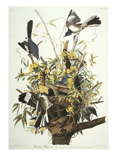 Mocking Bird. Northern Mockingbird (Mimus Polyglottos), Plate Xxi, from 'The Birds of America'-John James Audubon-Giclee Print