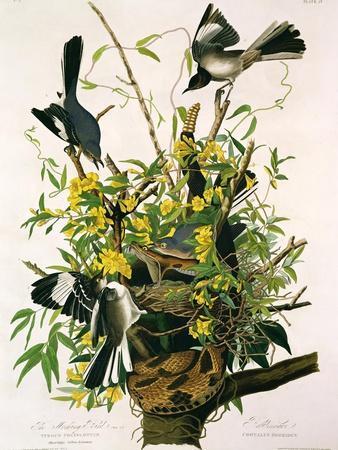 https://imgc.artprintimages.com/img/print/mocking-birds-and-rattlesnake-from-birds-of-america-engraved-by-robert-havell_u-l-pcchka0.jpg?p=0
