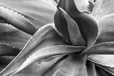 Agave Americana by Moises Levy