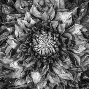Beautiful Dahlia Black And White Photography Artwork For