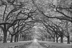 Oaks Avenue 1 BW by Moises Levy