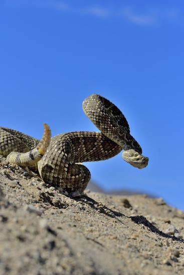 Mojave Rattlesnake (Crotalus Scutulatus) Mojave Desert, California, June-Daniel Heuclin-Photographic Print