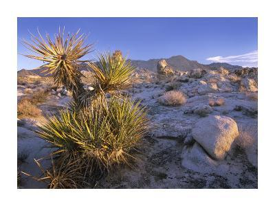 Mojave Yucca in rocky landscape, Mojave National Preserve, California-Tim Fitzharris-Art Print