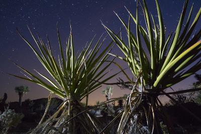 Mojave Yuccas Frame a Distant Joshua Tree in Joshua Tree National Park-Keith Ladzinski-Photographic Print
