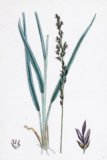 Molinia Caerulea Purple Melic-Grass--Giclee Print