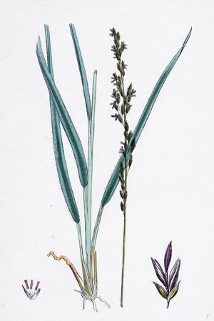 https://imgc.artprintimages.com/img/print/molinia-caerulea-purple-melic-grass_u-l-pvfzq40.jpg?p=0
