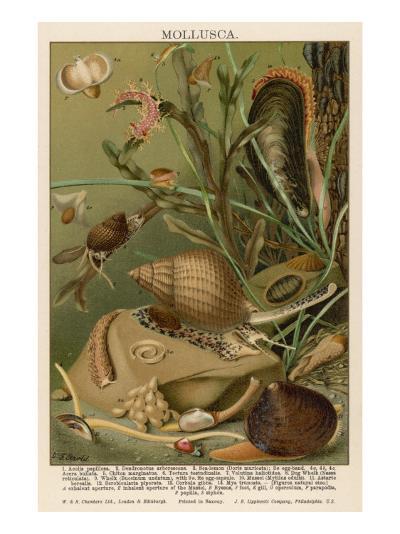 Mollusks / Sealife--Giclee Print