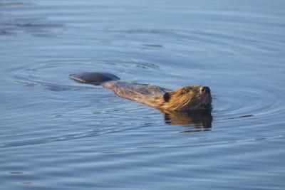 Beaver Swimming in Pond