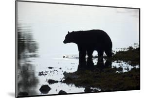Black Bear Looking for Coho Salmon in Sea by Momatiuk - Eastcott