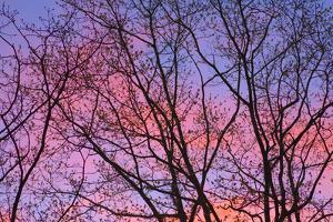 Dark Oak Trees against Fiery Sky at Sunset by Momatiuk - Eastcott