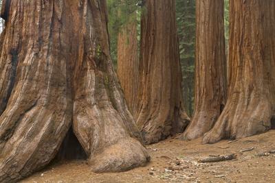 Giant Sequoia Trees, Yosemite National Park, California