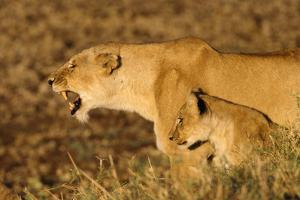 Lioness Roaring with Cub at Side by Momatiuk - Eastcott