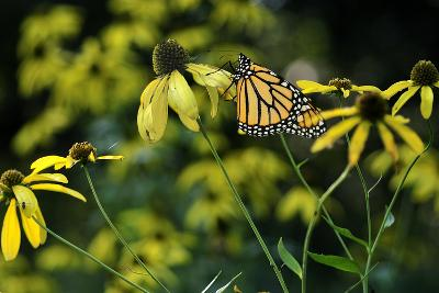 Monarch 2-Gordon Semmens-Photographic Print