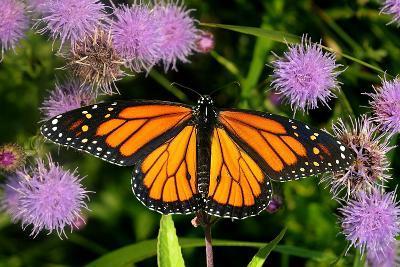 Monarch 3-Gordon Semmens-Photographic Print