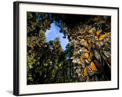 Monarch Butterflies Cover Every Inch of a Tree in Sierra Chincua-Joel Sartore-Framed Photographic Print