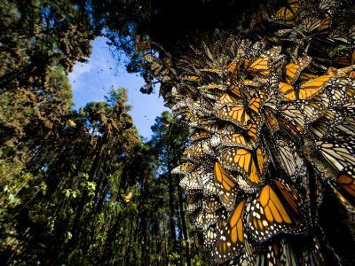 Monarch Butterflies Cover Every Inch of a Tree in Sierra Chincua-Joel Sartore-Photographic Print
