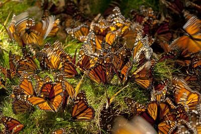 Monarch Butterflies, Danaus Plexippus, Drinking from Wet Grasses Along a Mountain Stream-Medford Taylor-Photographic Print
