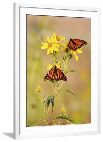 Monarch Butterflies, Prairie Ridge Sna, Marion, Illinois, Usa-Richard ans Susan Day-Framed Photographic Print