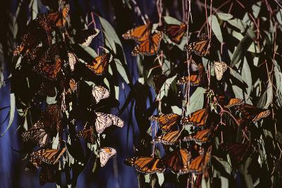 Monarch Butterflies-DLILLC-Photographic Print