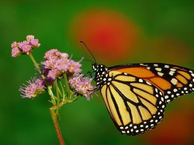 Monarch Butterfly at the Botanical Gardens in Zilker Park, Austin, Texas-Richard Cummins-Photographic Print