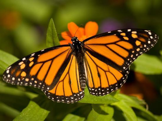 Monarch Butterfly at the Lincoln Children's Zoo, Nebraska-Joel Sartore-Photographic Print