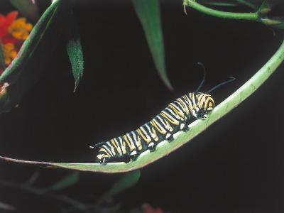 Monarch Butterfly Caterpillar Walks across a Blade of Grass-Jeff Foott-Photographic Print