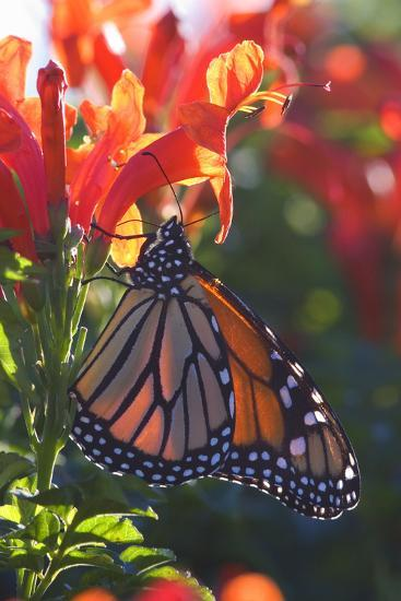 Monarch Butterfly Clings to a Red-Flowered Plant--Photographic Print