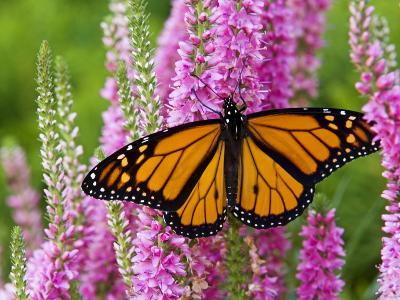 Monarch Butterfly (Danaus Plexippus) Nectaring on Speedwell Plant (Veronica Officinalis) in Flower -Don Johnston-Photographic Print