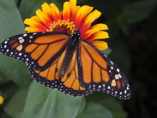 Monarch Butterfly, Danaus Plexippus, on a Flower-George Grall-Photographic Print