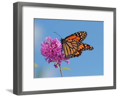 Monarch Butterfly, Danaus Plexippus, Visiting Flowers-Darlyne A^ Murawski-Framed Photographic Print