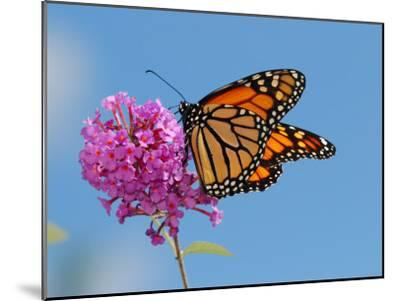 Monarch Butterfly, Danaus Plexippus, Visiting Flowers-Darlyne A^ Murawski-Mounted Photographic Print
