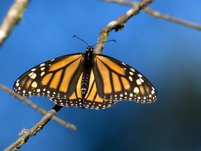 Monarch Butterfly (Danaus Plexippus)-Mark Newman-Photographic Print