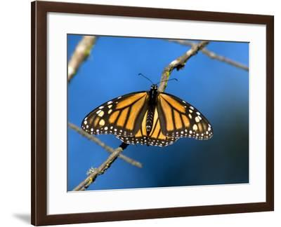 Monarch Butterfly (Danaus Plexippus)-Mark Newman-Framed Photographic Print