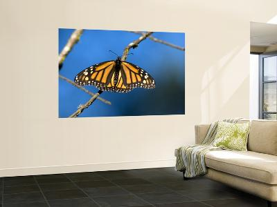 Monarch Butterfly (Danaus Plexippus)-Mark Newman-Wall Mural