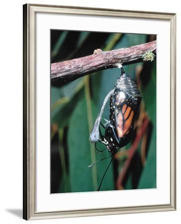 Monarch Butterfly Emerges from Chrysalis Stage-Jeff Foott-Framed Photographic Print