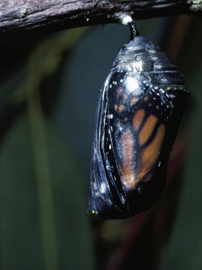 Monarch Butterfly in Chrysalis Stage-Jeff Foott-Photographic Print
