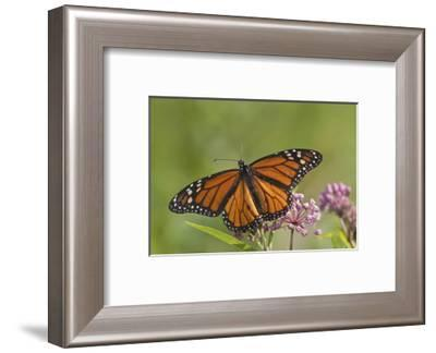 Monarch Butterfly Male on Swamp Milkweed Marion Co., Il-Richard ans Susan Day-Framed Photographic Print