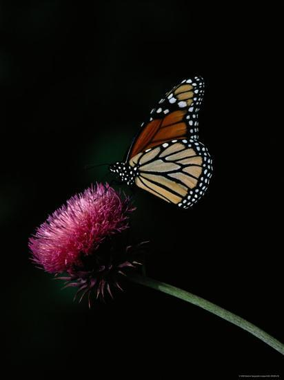 Monarch Butterfly on a Nodding Thistle Flower-Bates Littlehales-Photographic Print