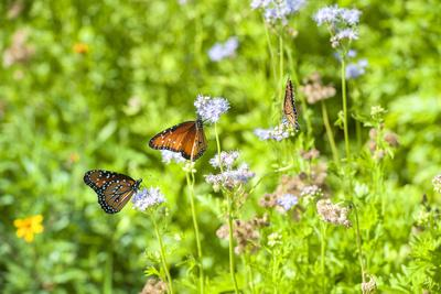 https://imgc.artprintimages.com/img/print/monarch-butterfly-on-buttonbush-flower-austin-texas-usa_u-l-q1d2hvz0.jpg?p=0