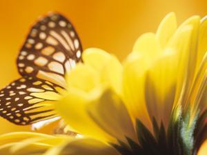 Monarch Butterfly on Daisy