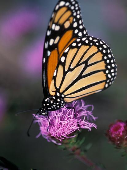 Monarch Butterfly on Northern Blazing Star Flower, New Hampshire, USA-Jerry & Marcy Monkman-Photographic Print