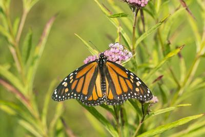 Monarch Butterfly on Swamp Milkweed, Marion County, Il-Richard and Susan Day-Photographic Print