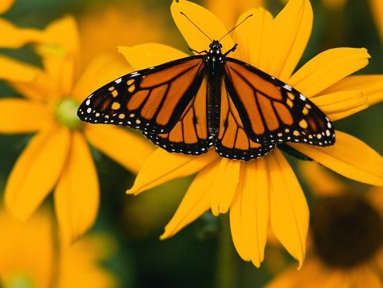 Monarch Butterfly On Yellow Flower Photographic Print Darrell Gulin Art Com
